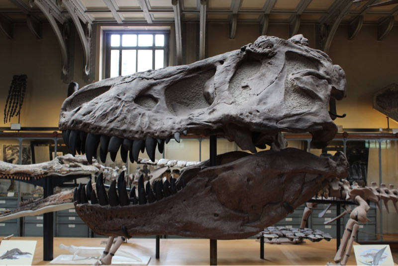 Dinosaur in a museum
